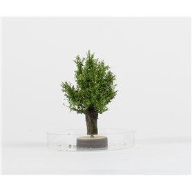 Freon Drzewko Wierzba Polna 3-4cm